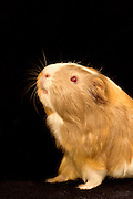 A curious Abyssinian Guinea Pig (Cavia porcellus) tests the air.