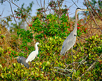 Great Blue Heron, Snowy Egret, Tricolored Heron. Merritt Island National Wildlife Refuge. Image taken with a Fuji X-T2 camera and 100-400 mm OIS lens.