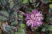 Centaurea raphanina (Centaurea raphanina), Katharo, Crete