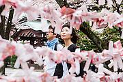 Tokyo,  Yasukuni Jina - Les sakura, cerisiers en fleur dans le sanctuaire shintoiste Yasukuni Jinja. Ce lieu situé dans le Chiyoda-ku, au nord du palais impérial, rendant hommage aux soldat tombés pour le Japon et l'empereur.