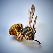 Macro Photograph of a dusty dead wasp