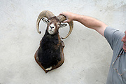 man holding up the stuffed head of a bighorn mountain goat