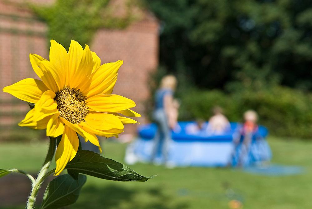 Sommerzeit Sonnenblume im Garten Plantschbecken  sunflower in front of children swimming pool