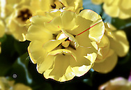 Yellow Tulip with a red stripe
