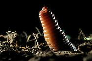 Common earthworm, Nightcrawler, Lumbricus terrestris; erected head looks from the ground.Gemeiner Regenwurm, Tauwurm, Lumbricus terrestris; Kopfende schaut aufgerichtet aus Erdboden