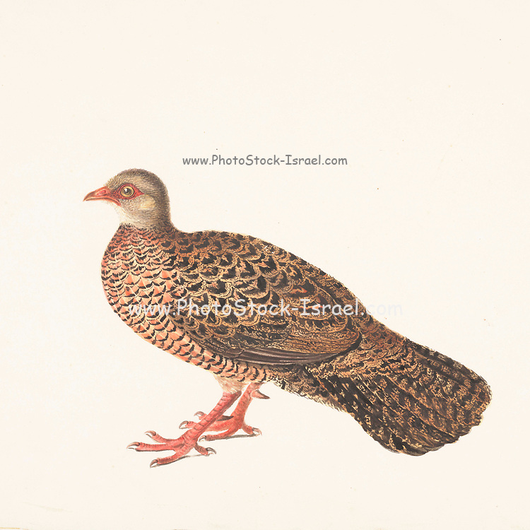 The red spurfowl (Galloperdix spadicea) is a member of the pheasant family and is endemic to India. It is a bird of forests, and is quite secretive despite its size. It has a distinctive call and is often hard to see except for a few seconds when it flushes from the undergrowth. It appears reddish and like a long-tailed partridge. The bare skin around the eye is reddish. The legs of both males and females have one or two spurs, which give them their name. 18th century watercolor painting by Elizabeth Gwillim. Lady Elizabeth Symonds Gwillim (21 April 1763 – 21 December 1807) was an artist married to Sir Henry Gwillim, Puisne Judge at the Madras high court until 1808. Lady Gwillim painted a series of about 200 watercolours of Indian birds. Produced about 20 years before John James Audubon, her work has been acclaimed for its accuracy and natural postures as they were drawn from observations of the birds in life. She also painted fishes and flowers. McGill University Library and Archives