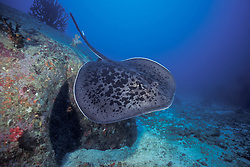 Like some kind of animated pancake, a Black-blotched or Marble Stingray, Taeniura meyeni, glides over a rocky reef, displaying the venomous barb visibile on its ribbon-shaped tail.  Wounds from such barbs are extremely painful and occasionally life-threatening, but are easily avoided. Stingrays are actually among the most gentle and docile of animals, resorting to their barbs only as a last line of defense. Similan Islands Marine National Park, Thailand, Andaman Sea; Indian Ocean
