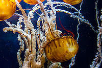 Pacific Sea Nettles, Aquarium of the Bay, Fisherman's Wharf, San Francisco, California USA
