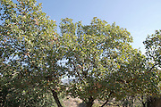 Valonia oak or Tabor Oak (Quercus macrolepis) at the Hermon Stream Nature reserve (Banias) Golan Heights Israel