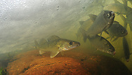 Walleye (with Lake Whitefish)<br />