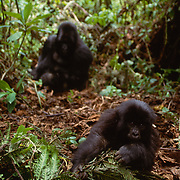 Male and juvenile silverback mountain gorilla in Volcanoes National Park, Africa.