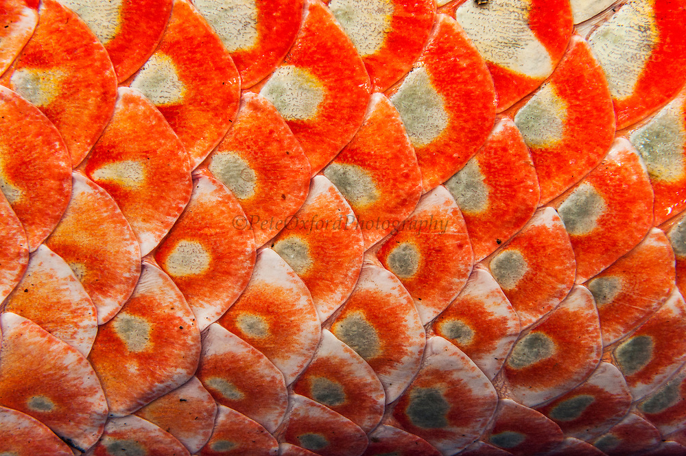 Arapaima (Arapaima gigas) Scale detail. Harvest on quota<br /> A South American tropical Fish that is one of the largest in the world.<br /> Rupununi<br /> GUYANA<br /> South America