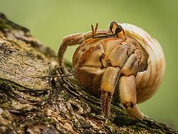 Central America, Panama, Isla Iguana Wildlife Refuge, hermit crab on log