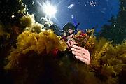 Algenforscherin Inga Kjersti Sjøtun Associate Professor University of Bergen is working on invasive alien seaweeds (here Japanese wireweed (Sargassum muticum) left hand) do to rising temperatures Kjersti.Sjotun@uib.no http://www.uib.no/en/persons/Kjersti.Sjotun