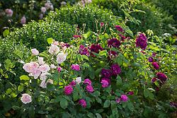 Rosa 'Felicia', Rosa 'Rose de Rescht' and Rosa 'Tuscany Superb'