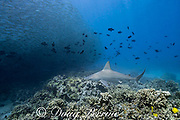 sandbar shark, Carcharhinus plumbeus, swimming toward a school of akule or bigeye scad, Selar crumenophthalmus, Keauhou Bay, South Kona, Hawaii (the Big Island),  United States ( Central North Pacific Ocean ); a cloud of black durgon triggerfish follow the akule to feed on their feces