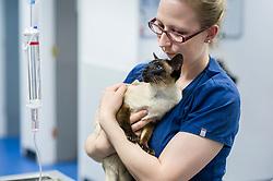 Veterinary nurse holds and comforts a cat at Rushcliffe Veterinary Centre, West Bridgford, Nottingham, UK.<br /> Photo: Ed Maynard<br /> 07976 239803<br /> www.edmaynard.com