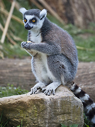 Ring-Tailed Lemur<br />