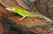 Emerald Tree Skink, Lamprolepis smaragdina