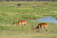 Two Common Impalas, Aepyceros melampus melampus, graze near a pond in Lake Nakuru National Park, Kenya. In the background are four Cape Buffaloes, Syncerus caffer.