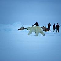 Snowmobile-bourne tourists watch a polar bear cross frozen Baffin Bay north of Baffin Island, Nunavut, Canada.