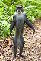 Blue Sykes Monkey of the Jozani in Unguja aka Zanzibar Island Tanzania East Africa