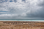 Large colony of breeding Gentoo Penguins (Pygoscelis papua) at The Neck, Saunders Island, the Falklands.