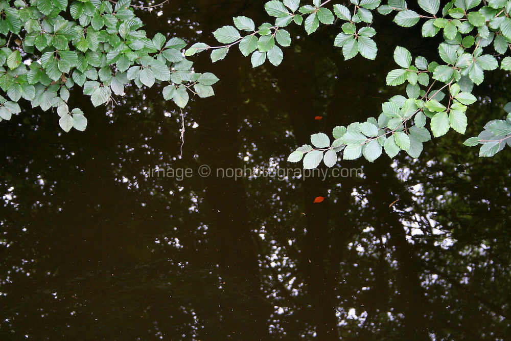 trees reflected in stagnent pond with overhanging tree branched in Ireland