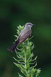 Eastern phoebe, Trinity River Audubon Center, Dallas, Texas, USA.