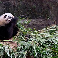Asia, China Chongqing. Giant Panda at the Chongqing Zoo.