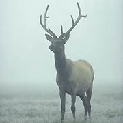 Elk (Cervus canadensis).  A young bull in velvet during late summer on a misty frosty morning.  Wyoming.