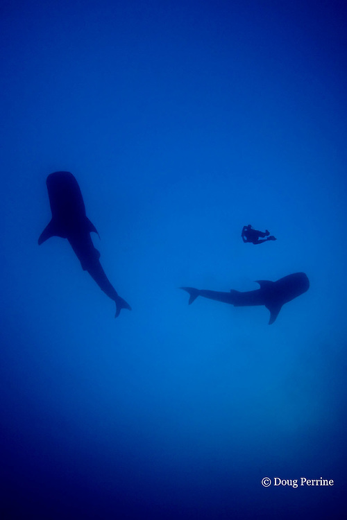 whale sharks, Rhincodon typus, & diver. Gladden Spit & Silk Cayes Marine Reserve, off Placencia, Belize, Central America ( Caribbean Sea )