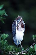 tricolor heron, Egretta tricolor, juvenile, North Miami Beach, Florida, USA, North America