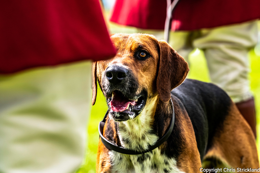 Lowther, Penrith, Cumbria, England, UK. 11th August 2018. The annual Lowther Show takes place in the castle grounds in Cumbria. The shows biggest attraction is the hunting hounds as packs from across the British Isles compete for rosettes in a celebration of their breeds conformation. Foxhunting has been an integral part of rural life in Cumbria and foot packs have been an effective way of fox management in challenging terrain.