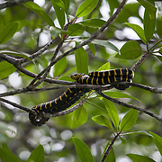 The mangrove snake or gold-ringed cat snake (Boiga dendrophila) is a species of rear-fanged colubrid. It is one of the biggest cat snake species, averaging 6–8 feet (1.8–2.4 m) in length. It is considered mildy-venomous; although moderate envenomations resulting in intense swelling have been reported, there has never been a confirmed fatality.
