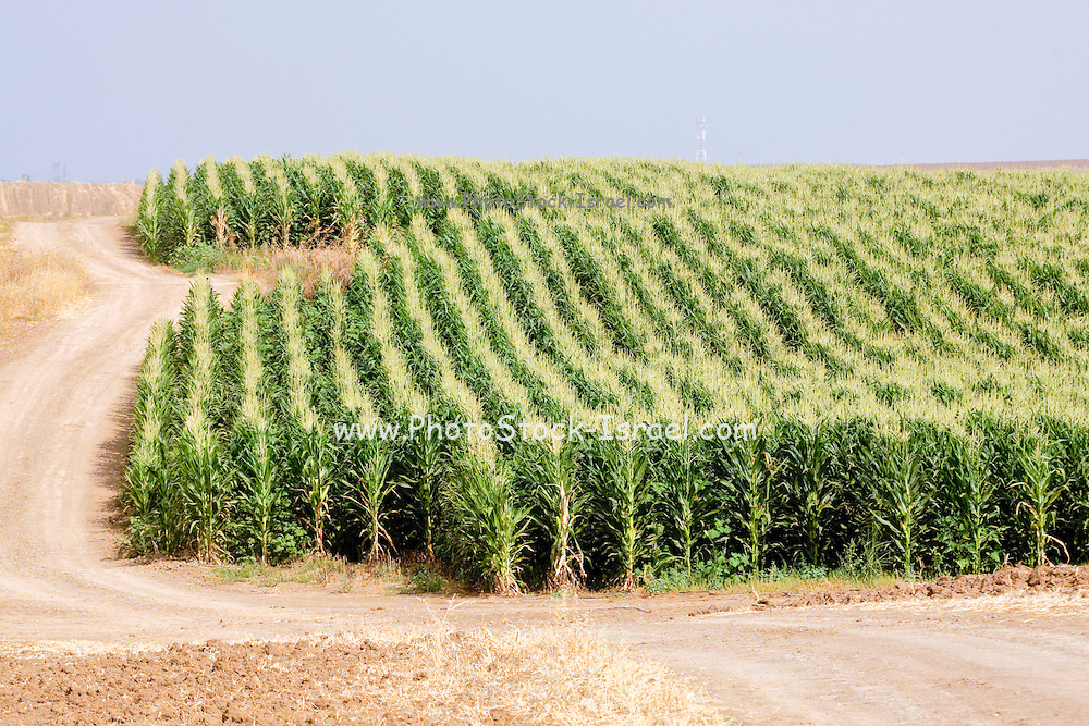 corn field. Photographed in Israel