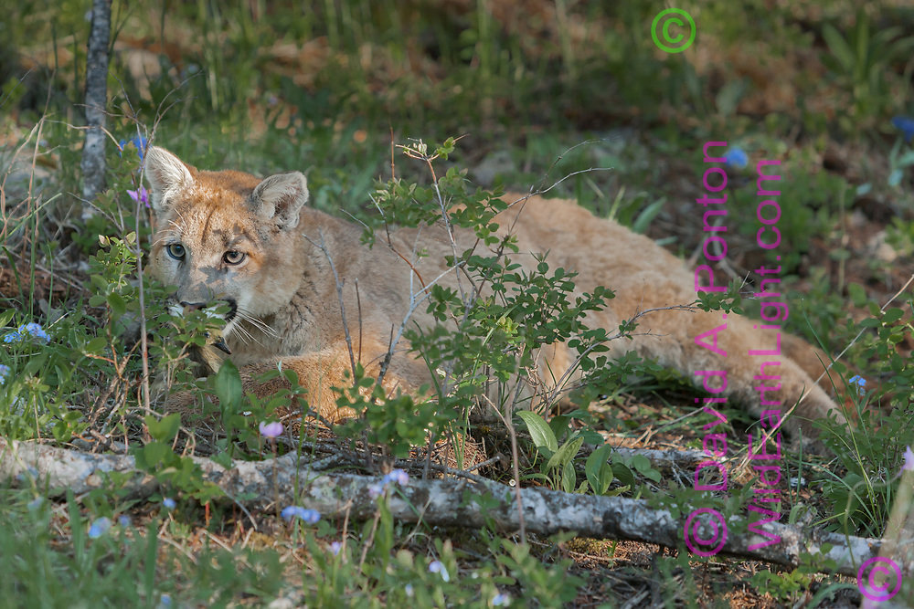 Mountain lion remains alert while resting behind low bushes, Montana, © David A. Ponton