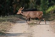 Indian hog deer (Hyelaphus porcinus) crossing the road in Kaziranga National Park, Assam, north-east India.