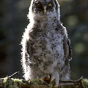 Great Gray Owl, (Strix nebulosa) Fledgling perched on branch. Spring.  Montana.