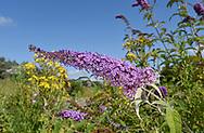 Butterfly-bush - Buddleja davidii