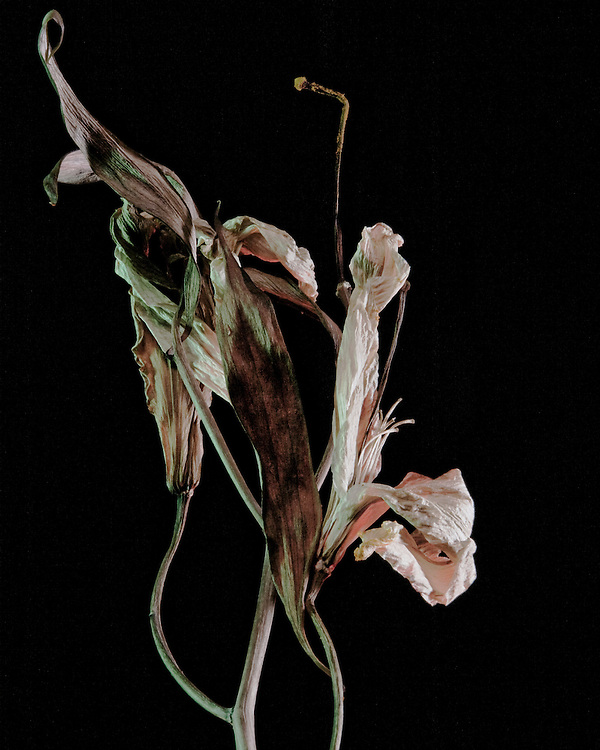 Study of dying lily
