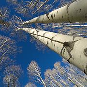 Aspen forest in the winter near Aspen, Colorado.