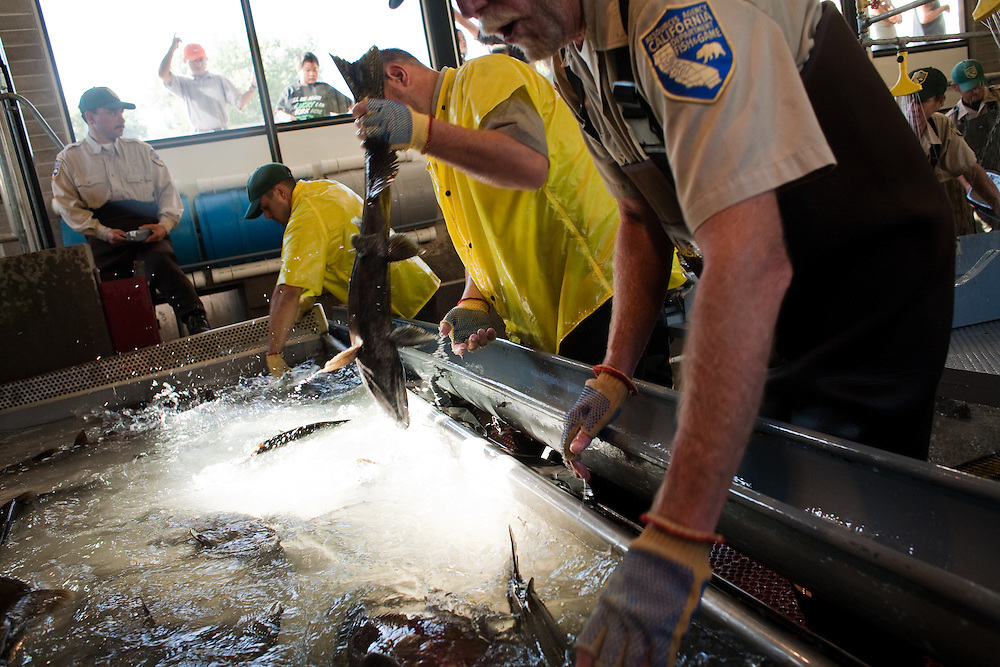 Employees of the Oroville Fish Hatchery pull Salmon from a holding tank before beginning spawning operations.  The fish will be killed and their eggs harvested and incubated at the hatchery.  In nature, Salmon die after spawning.  Oroville, California, September 26, 2009.