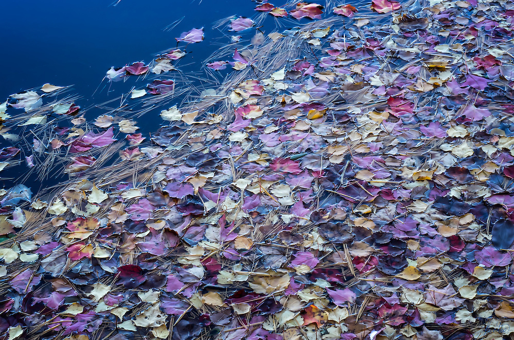 Fallen leaves in autumn floating on the water of a lake in Maine. Love the purples, reds, blues and golds