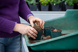 Planting begonia tubers in individual pots in a greenhouse