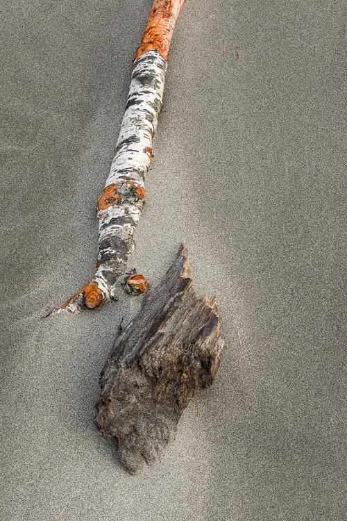 Red alder branch (Alnus rubra), Kalaloch Beach, Olympic National Park, Washington, USA