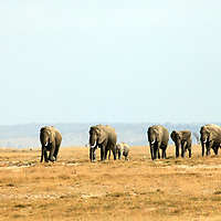 Africa, Kenya, Amboseli. A matriarchal group of elephants in Amboseli.