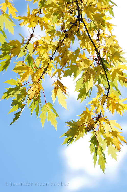 Silver Maple (Acer saccharinum) foliage changing from green to gold, Bar Harbor, Maine.