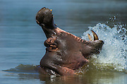 Hippopotamus (Hippopotamus amphibius) yawning<br /> Marakele Private Reserve, Waterberg Biosphere Reserve<br /> Limpopo Province<br /> SOUTH AFRICA<br /> RANGE: Formerly all over Africa. Now absent from far north and south of range.