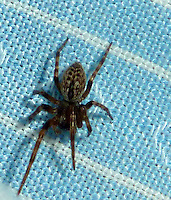 Spider on my shirt after a walk in Buenos Aries. Images taken with a Leica V-Lux 20 camera (ISO 80, 4.1 mm, f/3.3. 1/30 sec, macro mode, flash)